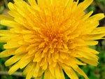 fleur-pissenlit